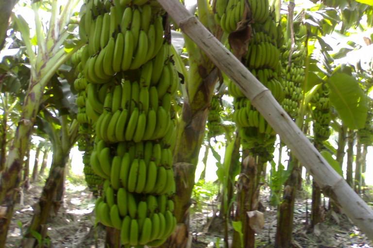 Il banano
