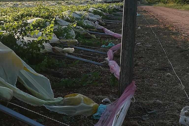 Tendone di uva da tavola abbattuto nelle campagne biscegliesi