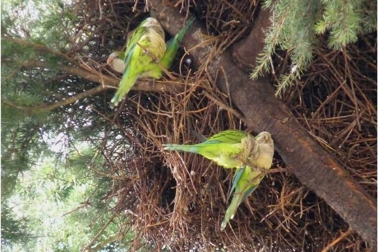 Invasione pappagalli verdi