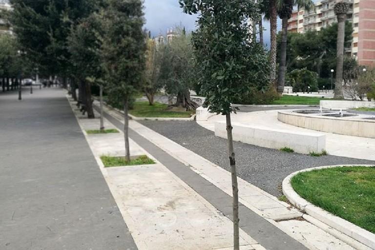 Il leccio piantato in piazza Vittorio Emanuele II