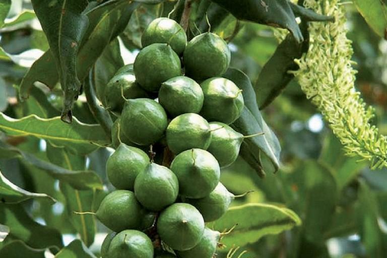 La macadamia