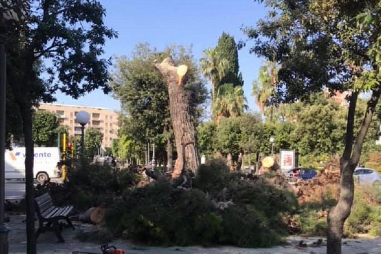 Albero di pino reciso in piazza Vittorio Emanuele II